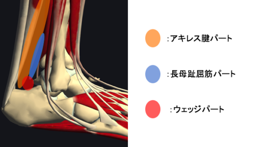 足関節背屈制限に関わるケーラー脂肪体とは?【リハビリ評価と治療】
