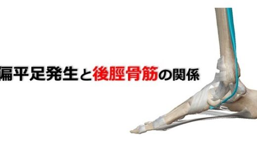 【扁平足のリハビリ】扁平足発生と後脛骨筋の関係