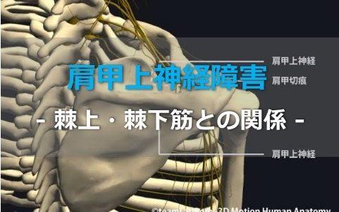 棘上・棘下筋の筋力低下に関わる【肩甲上神経障害】