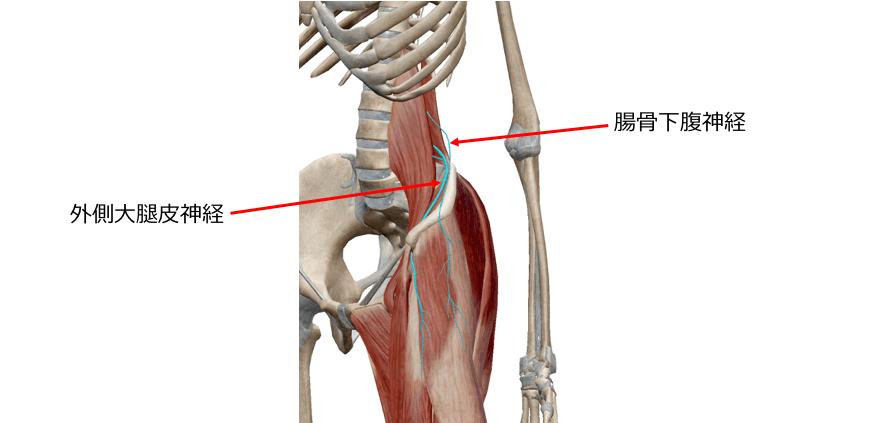 股関節周りのイラスト