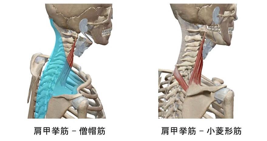 肩甲挙筋と周囲組織